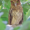 <b>Philippine Eagle-Owl</b> (<i>Bubo philippensis</i>) Angono, Rizal, 1 Mar 2012