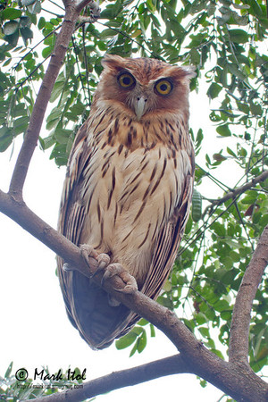 Philippine Eagle-Owl in QC (6 Jan 2012)