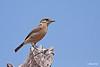 <b>Pied Bushchat</b> (<i>Saxicola caprata</i>, female), common, resident San Jose, Tarlac