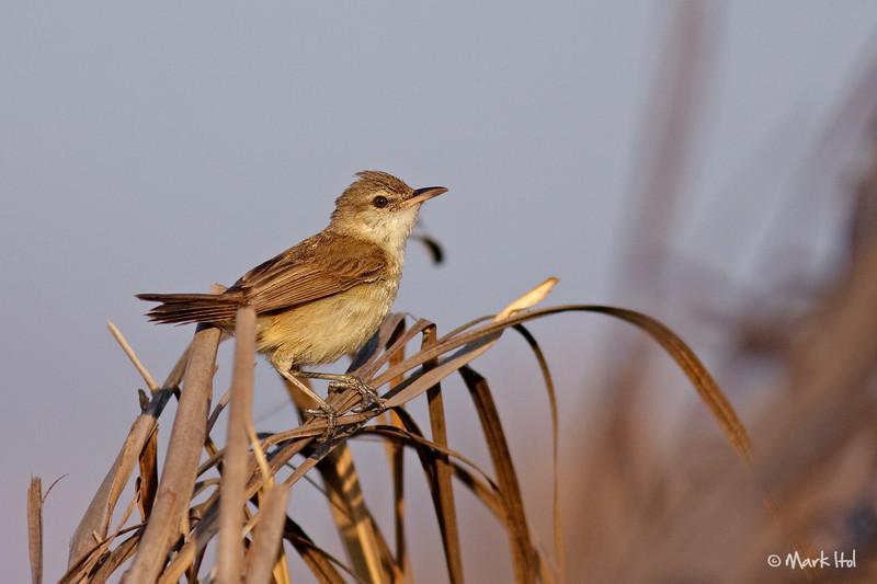<b>Clamorous Reed-Warbler</b> (<i>Acrocephalus stentoreus</i>), common San Jose, Tarlac