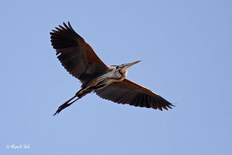 <b>Purple Heron</b> (<i>Ardea purpurea</i>), common Candaba, Pampanga