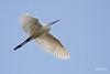 <b>Little Egret</b> (<i>Egretta garzetta</i>), common Candaba, Pampanga