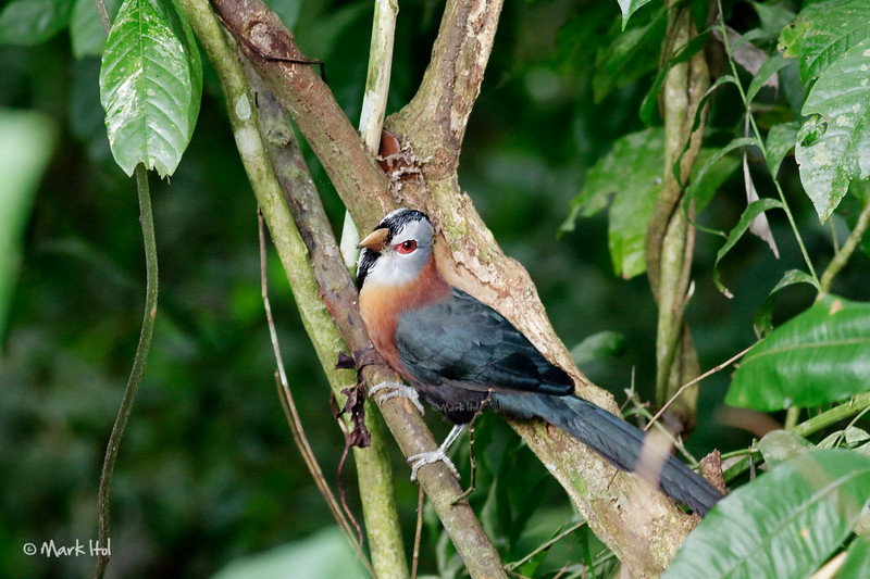<b>Scale-feathered Malkoha</b> (<i>Phaenicophaeus cumingi</i>) Makiling, UPLB, Laguna