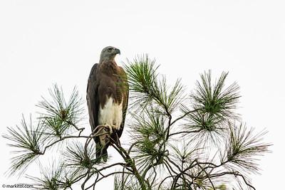 Grey-headed Fish Eagle (Haliaeetus ichthyaetus) Botanic Gardens, 26 Aug 2018  A7R2, EF 500mm f/4 L + 2x II + 1.4x III + Metabones Mark V, 1400mm, ISO 800, f/13, 1/60 sec, manual exposure, manual focus, Sirui 5214X + Benro GH2