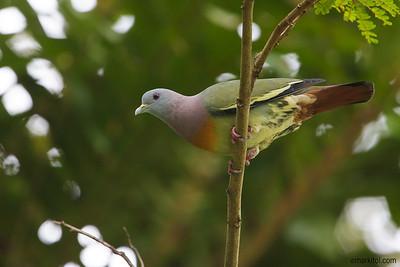 Pink-necked Green Pigeon (Treron vernans), male