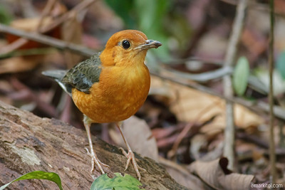 Orange-headed Thrush (Geokichla citrina)