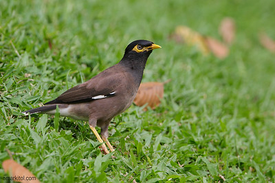 Common Myna (Acridotheres tristis) Botanic Gardens 12 May 2017