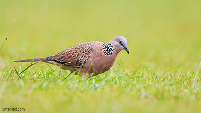 Spotted Dove (Streptopelia chinensis) Botanic Gardens 12 May 2017