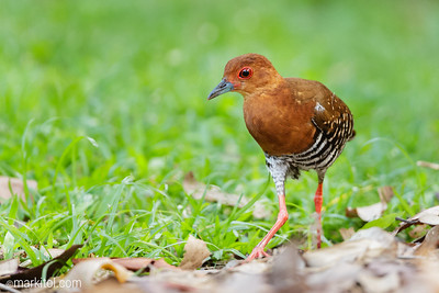 Red-legged Crake (Rallina fasciata) Singapore Botanic Gardens, 10 Feb 2018  1DX, 500/4 + 1.4x II, 700mm, ISO 6400, f/5.6, 1/320s, manual exposure, handheld