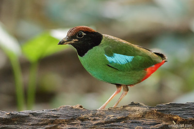 Hooded Pitta (Pitta sordida) 70D, 400/5.6, ISO 6400, f/5.6, 1/8s, manual exposure, tripod/gimbal, wireless shutter, denoised to kingdom come
