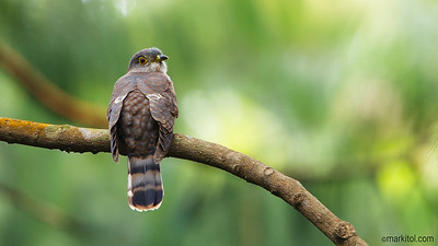 Hodgon's Hawk-cuckoo (Cuculus nisicolor) 70D, 500/4 + 1.4x,  700mm, ISO 800, f/7.1, 1/80s, manual exposure, tripod/gimbal