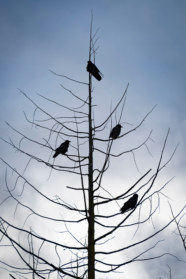 Crow on dead cedar tree, Sequim, WA