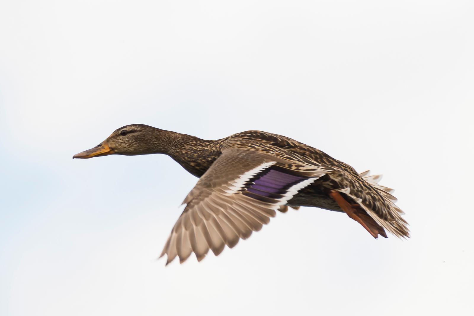 ♀ Mallard Duck in Flight