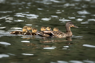 ♀ Mallard with ducklings