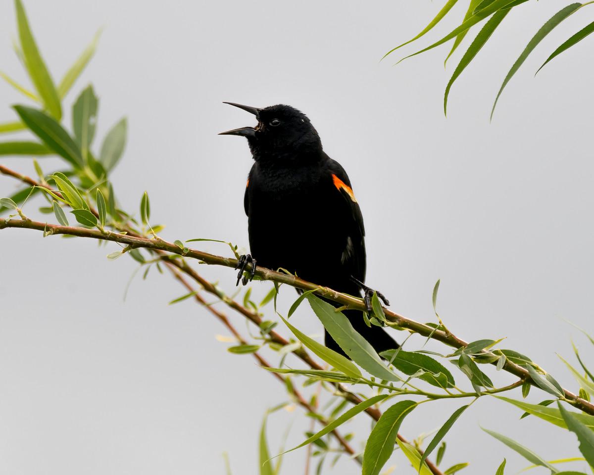 ♂ Red Wing Blackbird