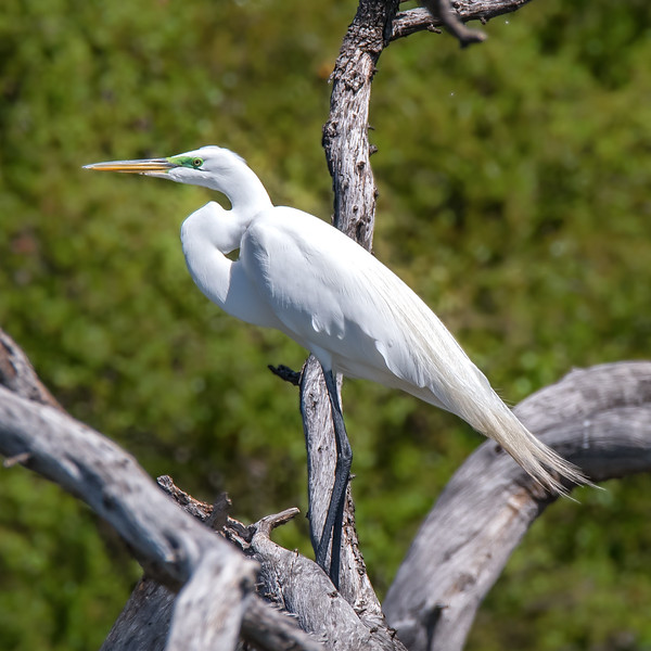Great White Egret, lake Waco, Texas