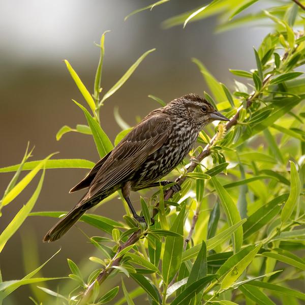 ♀ Red Wing Blackbird