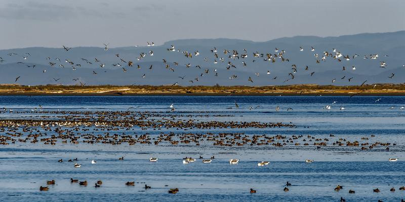 Water fowl, Dungeness Bay near Sequim, Washington