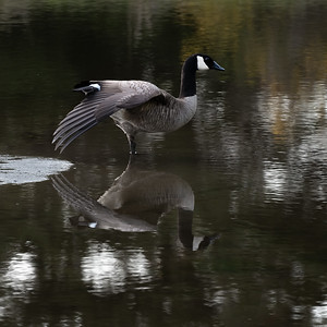 Canada Goose, Salt Creek Park near Joyce, Washington
