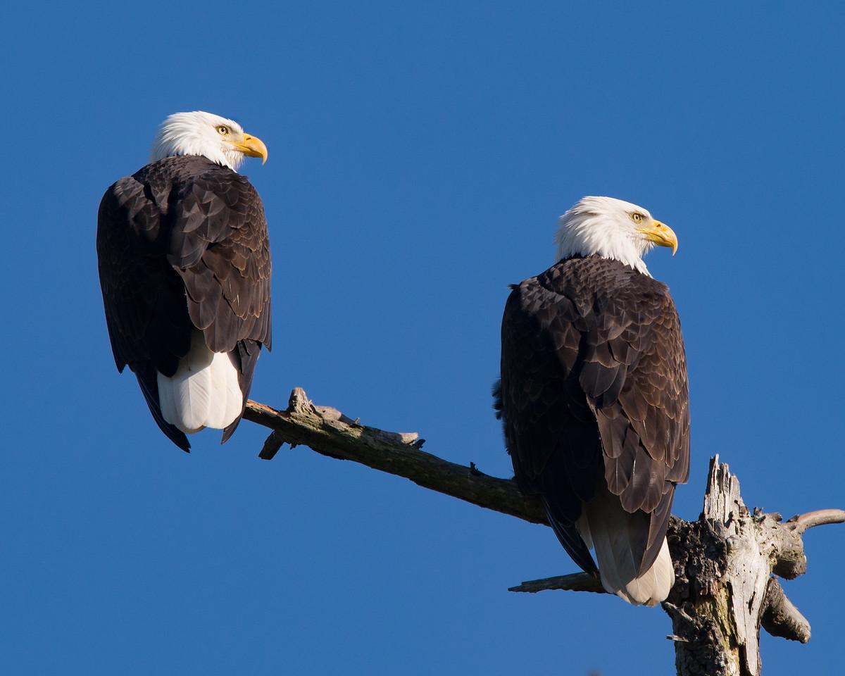 American Bald Eagles near Dungeness, Washington