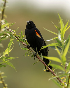 ♂ Red Wing Blackbird
