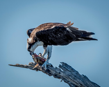 Osprey eating a tilapia