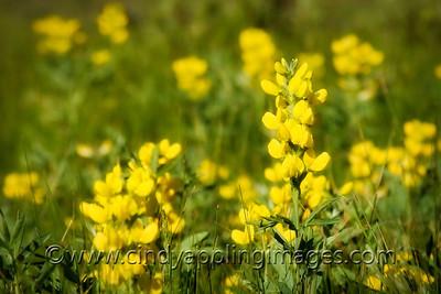 Summer Flowers, RMNP