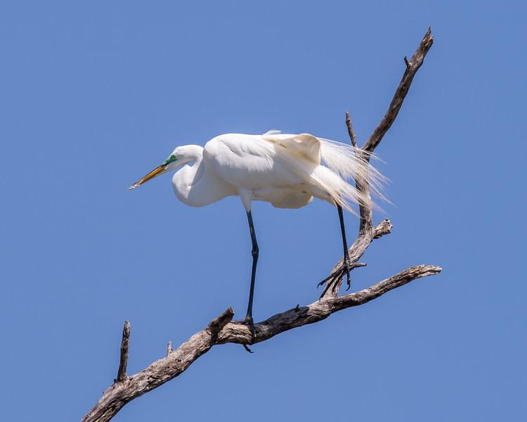 Great White Egret, lake Waco, Texas