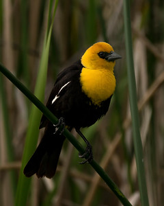 ♂ Yellow Head Blackbird