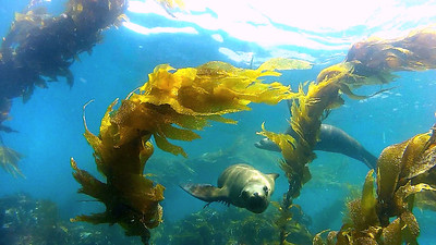 Sea Lions at Anacapa Island, Channel Islands, CA