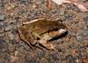 Fletcher's Frog (Lechriodus fletcheri), Barrington River, NSW