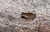 Common Froglet, Crinia signifera, Scottsdale TAS