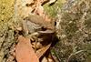 Brown Tree Frog, Litoria ewingii, Ranelagh, TAS