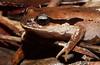 Haswell's Frog, Paracrina haswelli, Bulahdelah, NSW
