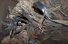 Common Froglet, Crinia signifera, St Helens, TAS