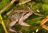 Striped Marsh Frog (Limnodynastes peronii), Toronto, NSW