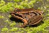 Striped Marsh Frog (Limnodynastes peronii), Kilaben Bay, NSW
