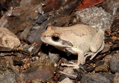 "Litoria ""Tree"" Frogs"