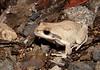 Revealed Tree Frog (Litoria revelata), Bulahdelah, NSW