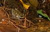 Waterfall Frog (Litoria nannotis), Paluma, QLD