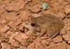 Bumpy Rocket Frog (Litoria inermis), Birdsville, QLD