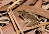 Bumpy Rocket Frog (Litoria inermis), Lakefield, QLD