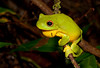 Red-eyed Tree Frog (Litoria chloris), Barrington River, NSW