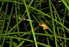 Revealed Tree Frog (Litoria revelata), Wallingat NP, NSW