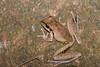 Northern Lesueur's Frog (Litoria jungguy), Paluma, QLD