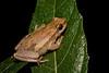 Desert Tree Frog (Litoria rubella), Lakefield, QLD
