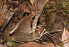 Stony Creek Frog (Litoria wilcoxi), Copeland Tops, NSW