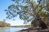 Murray River River Red Gums, Euston NSW