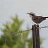 White-browed Babbler, Buronga, NSW