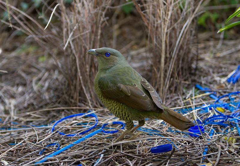 bowerbirds-3776